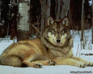 Загадки про волка в стихах